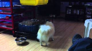 Pomeranian (hamham)open Her Own Cage Assisted By Her Boyfriend (bonbon)