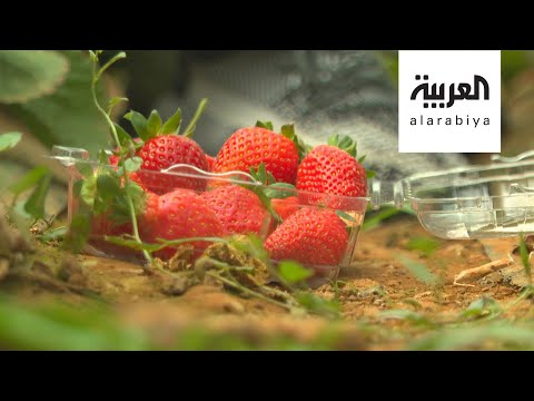 صباح العربية | مزارع الفراولة تزين السودة  - نشر قبل 4 ساعة