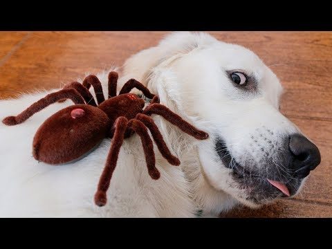 Dog vs Robot Spider! Tarantula Attacks Puppy Bailey Prank