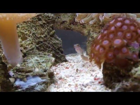 Tail Spot Blenny eating