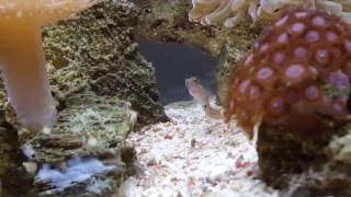 Tail Spot Blenny eating