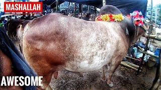Dholaikhal Haat Er Oshadharon Shob Gorur Collection | Kurbani Eid 2018 | Guy with The Big Cows