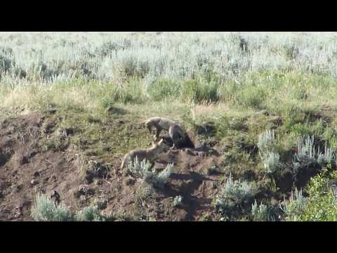 Coyote Pups at Play II