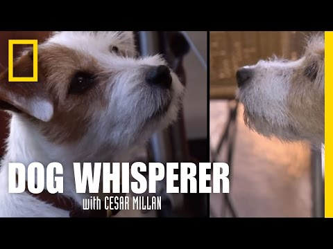 Terrier vs. Terrier | Dog Whisperer