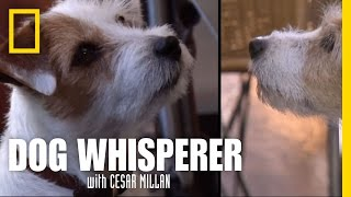 Video Terrier vs. Terrier | Dog Whisperer download MP3, 3GP, MP4, WEBM, AVI, FLV November 2017