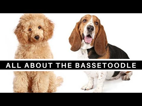 all-about-the-basset-hound-poodle-mix-(bassetoodle)