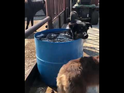 Australian Shepherd bathes in a barrel full of water