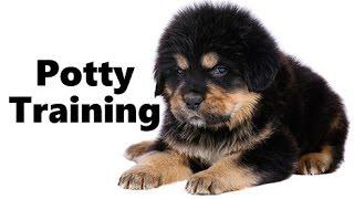 How To Potty Train A Tibetan Mastiff Puppy - Tibetan Mastiff Training - Tibetan Mastiff Puppies