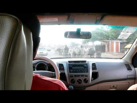 Cattle Take over Road in Ghana