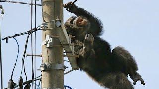 Monyet Kabur Tersengat Listrik