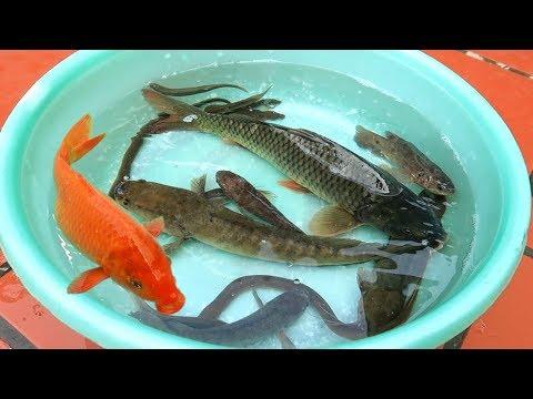 Các Loại Cá | Các Loại Cá Nước Ngọt Quê Tôi - YouTube