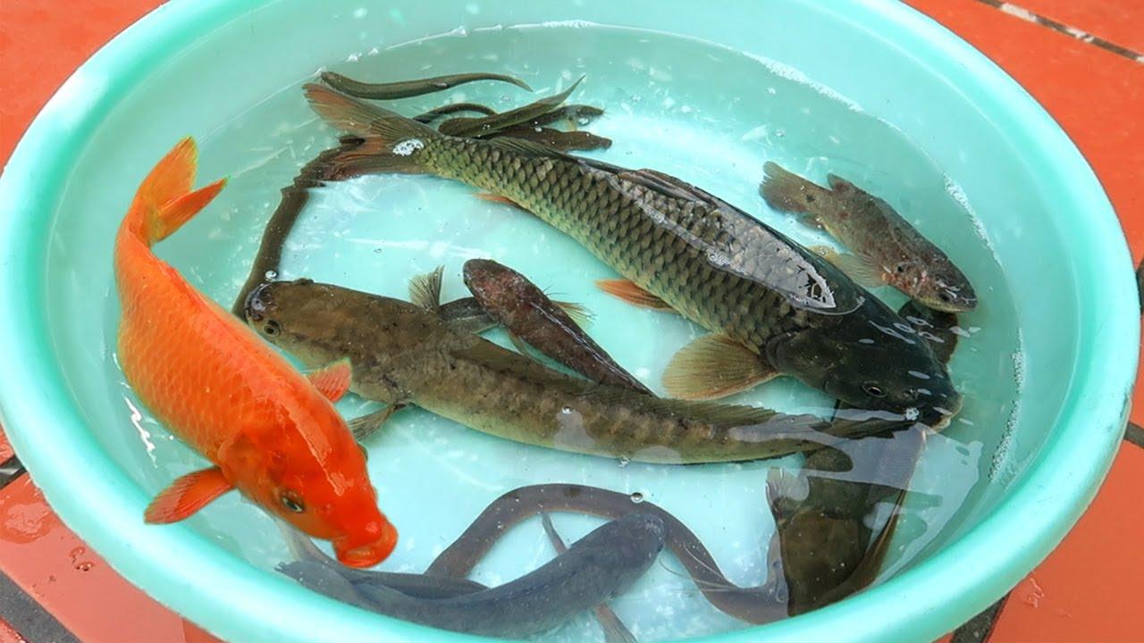 Các Loại Cá | Các Loại Cá Nước Ngọt Quê Tôi