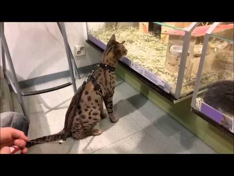 savannah cat in pet store