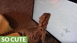 Lizard practices hunting skills on computer screen