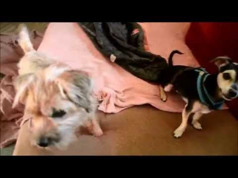 Chihuahua cross puppy & Border Terrier having fun together