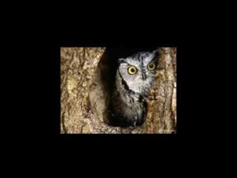 Baykuş ile hz.süleymanın konuşması