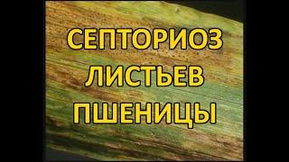 Септориоз листьев пшеницы (Septoria tritici)