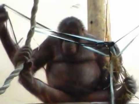 FUNKTIONSLUST - Les noeuds de Wattana, orang-outan ( Chris Herzfeld )