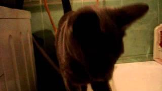 Russian blue cat  mimimi/ Русская голубая кошка мимими