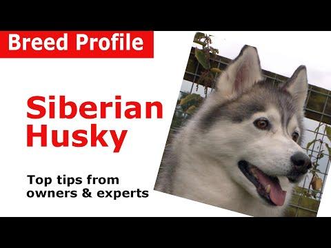 Siberian Husky Dog Breed Guide