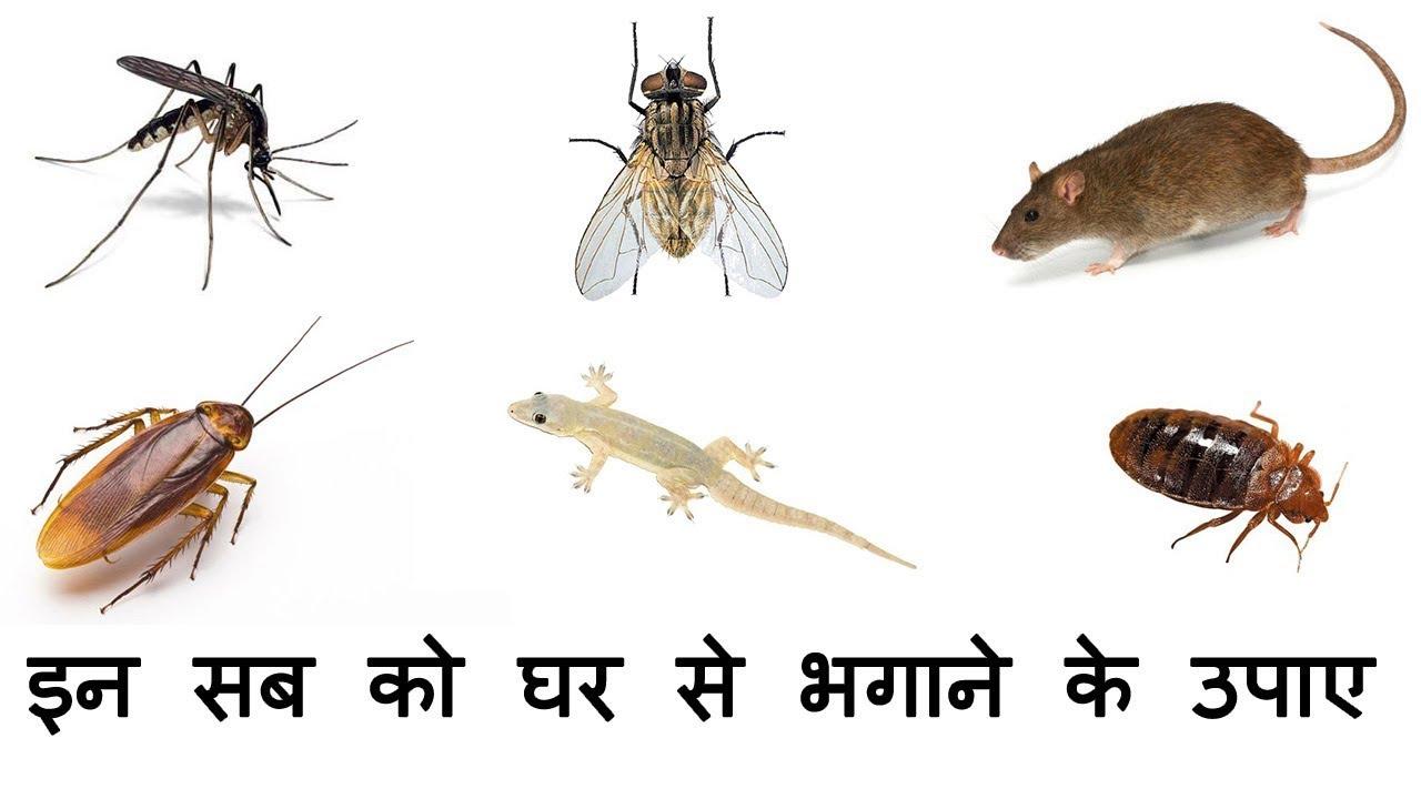 मच्छर, मक्खी, कॉकरोच, चूहा, छिपकली, खटमल भगाने के घरेलु उपाए - Gyan Ki  Baatein - YouTube