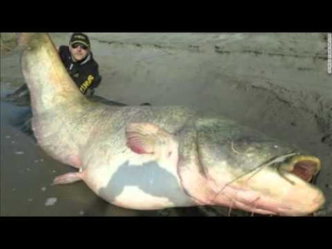 Rely? 280-pound catfish reportedly caught in Italy's Po River