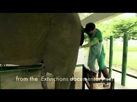 Extinctions   how to masturbate an Elephant