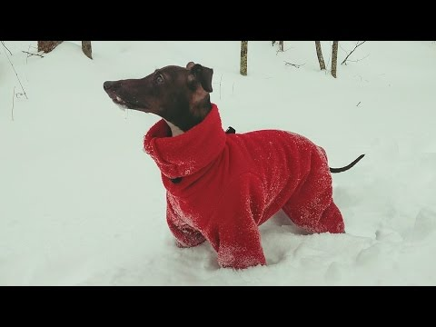 Italian Greyhound In Deep Snow