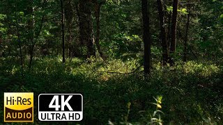 4К Лес и тишина. Шелест листьев. Чистый лесной воздух.