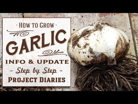 ★ How to: Grow Garlic at Home (Update & Information Tutorial)