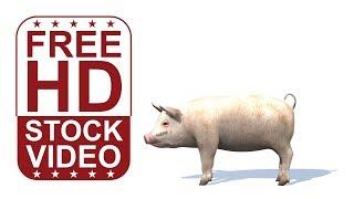 Stock Videos – Tier-Animationen Schwein im Leerlauf auf weißen bg mit Schatten seamless loop