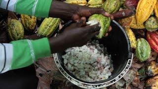 مزارعو الكاكاو في الكونغو  يتوقون للسلام لتنمية مشاريعهم
