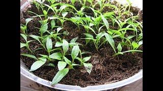 Выращивание рассады сладкого перца в домашних условиях