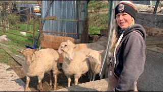BELINDA GOT NEW SHEEP!!  Vlog 361