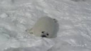 The noisy Harp seal pup