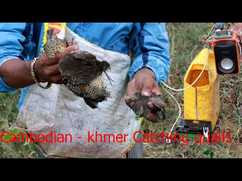 How to Find quail - Cambodian - khmer Catching Birds - Find quails in Pailin Province