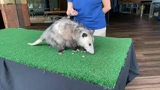 Aquarium at Home: Awesome Opossum