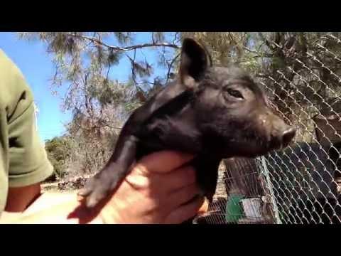 Piglet castration