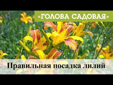 Голова садовая - Правильная посадка лилий