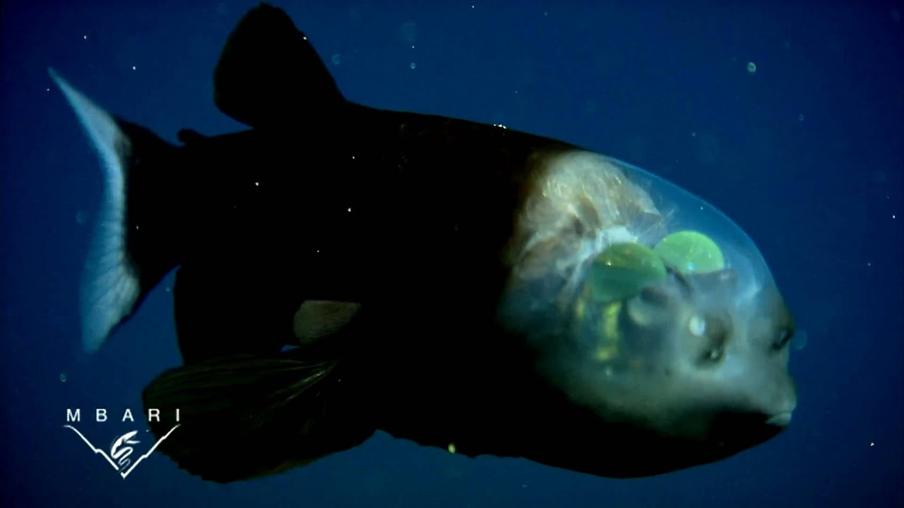 Strange Deep Sea Creatures Video Macropinna Microstoma A Deep Sea Fish With A Transparent