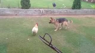 Собака дразнит петуха!))Смотри  до конца !!!!