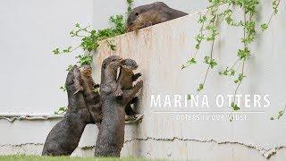 Life Story of Marina otters (from Oct 2015 - Jun 2017)