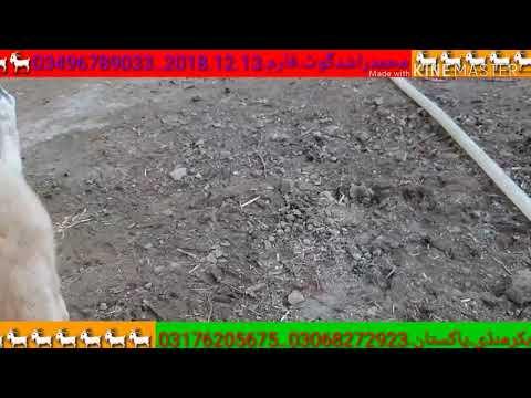 rajan puri bakra tagged videos on VideoHolder