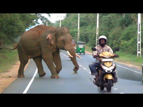 wild tusker chasing a vehicle at the Habarana road.