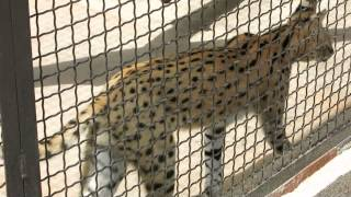 Непонятный зверек  в минском зоопарке.(группа вконтакте: http://vk.com/pgshelp1 сайт: https://sites.google.com/site/na5balov заказать работу: ..., 2014-07-23T16:20:25.000Z)