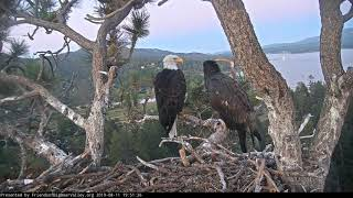 08-11-19 Big Bear Lake eagles; Simba's evening chittering with Mom.