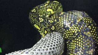 Diamond Python Skin Slough/Shed