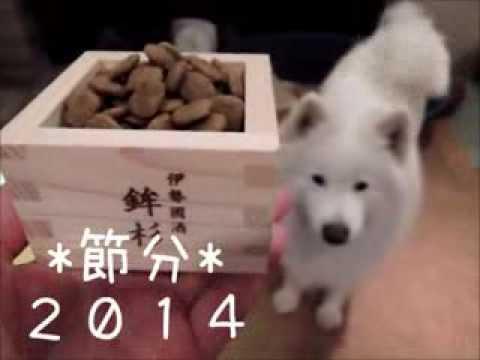 サモエド クローカ 「節分2014」 (samoyed kloka)