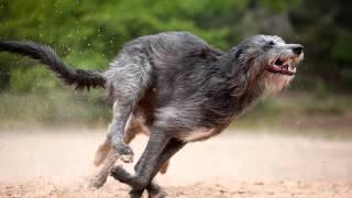 Все породы собак.Дирхаунд (Шотландская оленья борзая)
