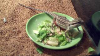 Bearded Dragon eating crickets 5months old
